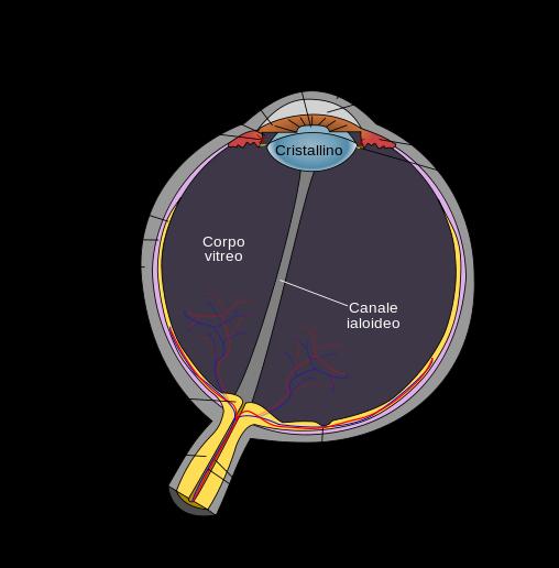 OcchioAnatomia